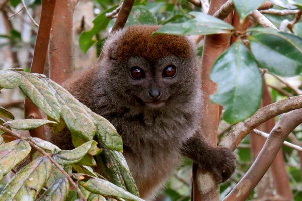 Bamboo lemur Madagascar