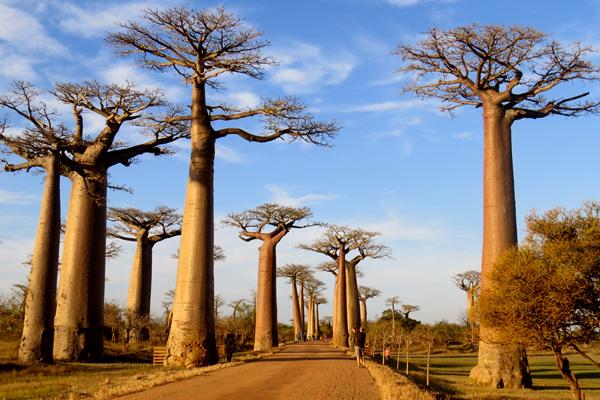 The Baobab Alley Morondava