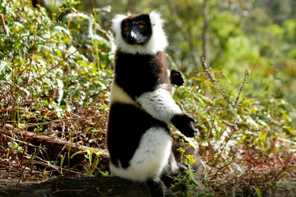 Black and white Rufted lemur