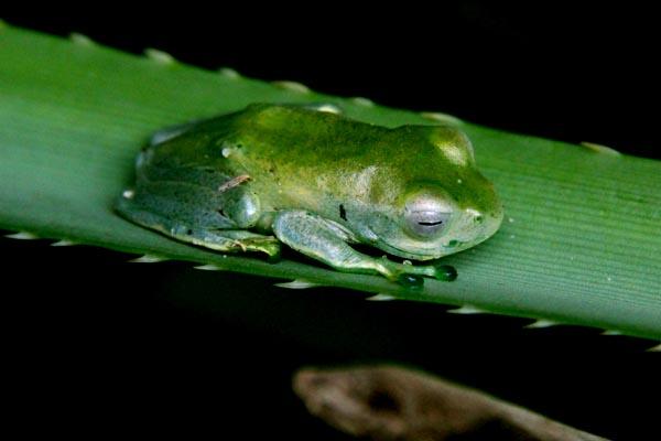 Boophise Madagascar