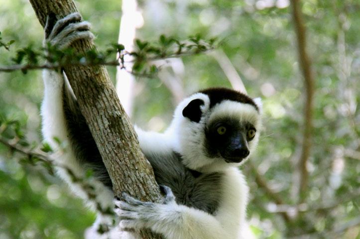 Dancing lemur Madagascar