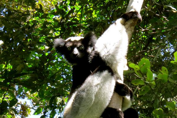 Indri Indri Andasibe N.P