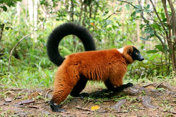 Red Ruffed Lemur Vakona Reserve