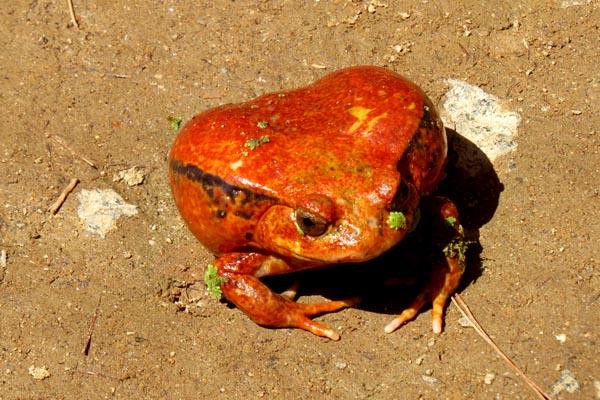 Tomatoes frog